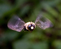 Hovering carpenter bee